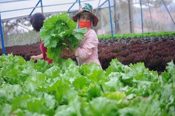 Nông dân Lâm Đồng khôi phục sản xuất rau, củ, quả trong điều kiện bình thường mới
